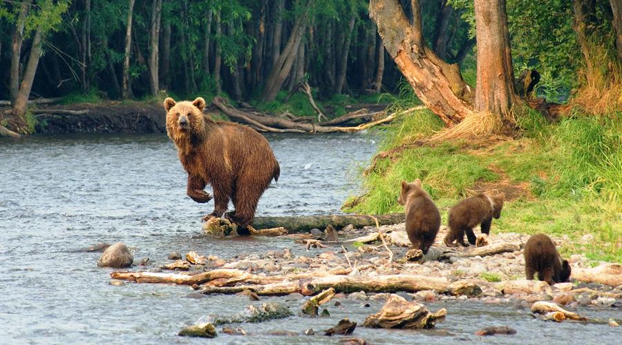 Kamtschatka Bärenfamilie