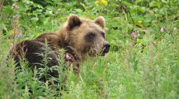 Kamtschatka Bären