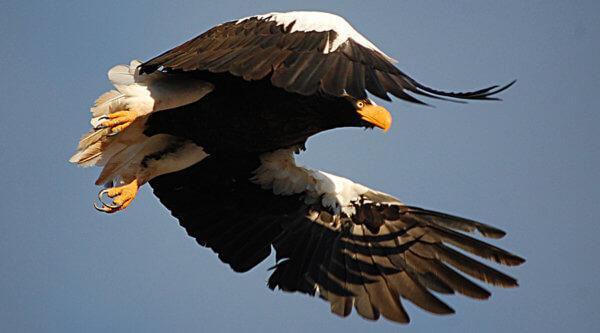 Kamtschatka Adler