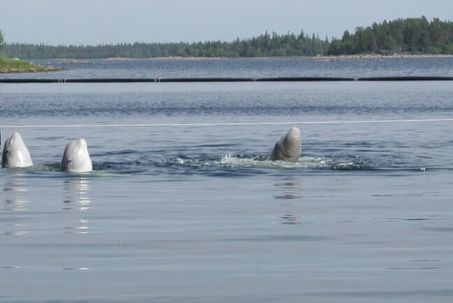 Belucha Wale In Karelien