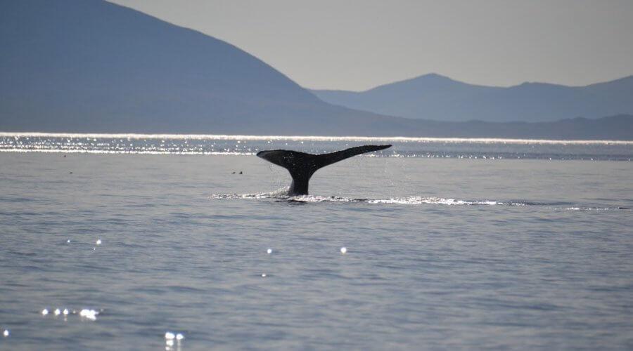 Walflosse im Beringmeer
