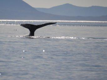 Walflosse in der Beringsee