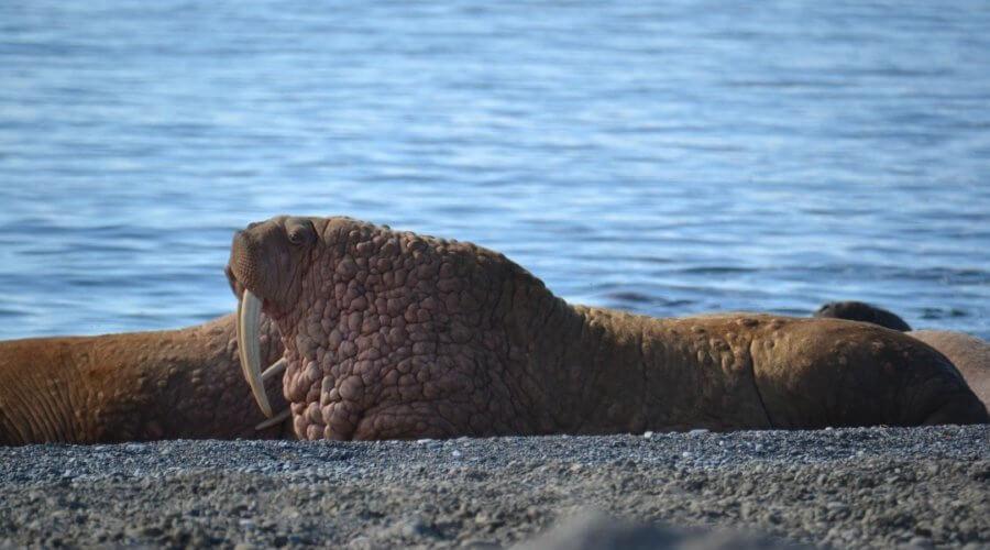 Walross am Ufer von Tschukotka