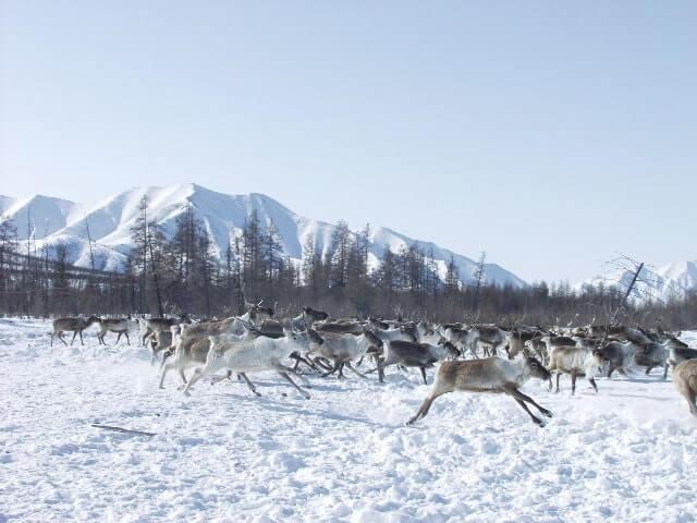 Rentier Herde In Jakutien 1