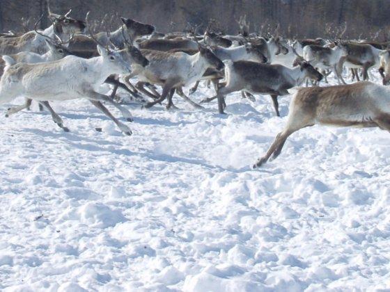 Herde von Rentieren im Winter