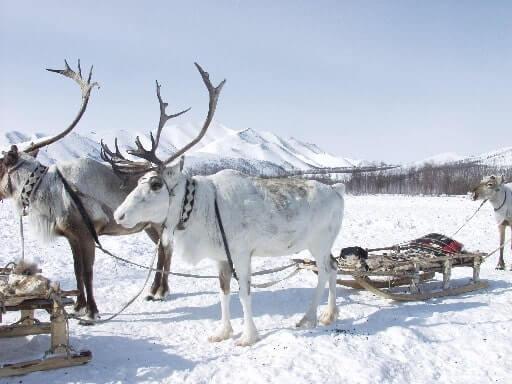 Rentiere in Jakutien
